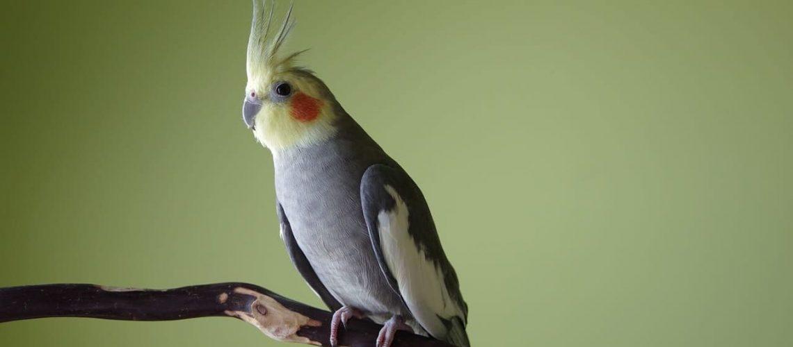 calopsita, cockatiel, bird, crest