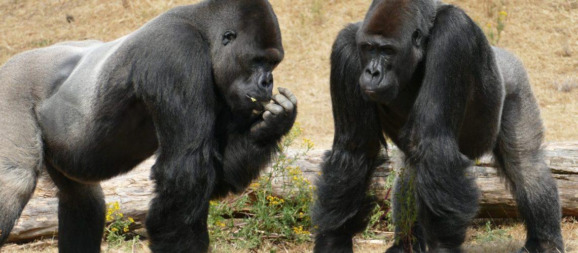 Gorilas COVID-19, gorilas testaram positivo