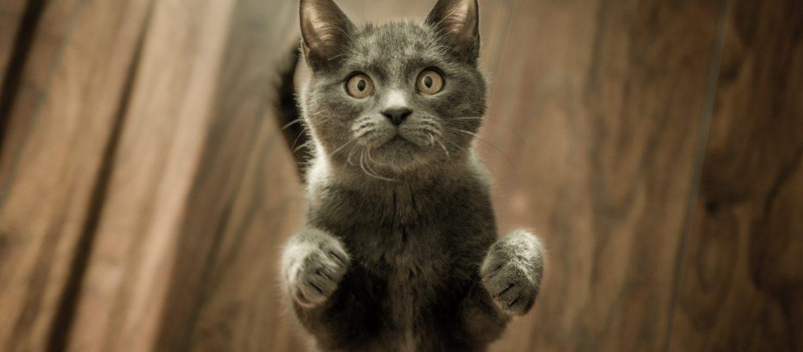 gatti, les chats, gatos